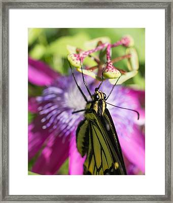 Framed Print featuring the photograph Anise Swallowtail Butterfly And Passionflower by Priya Ghose
