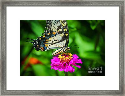 Anise  Swallowtail Butterfly Framed Print