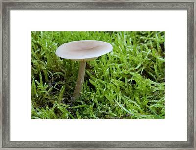Aniseed Funnel Fungus Framed Print