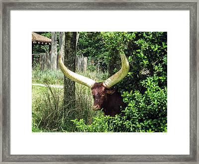 Ankole Longhorn Framed Print by Zina Stromberg