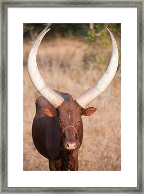 Ankole-watusi Cattle Standing Framed Print