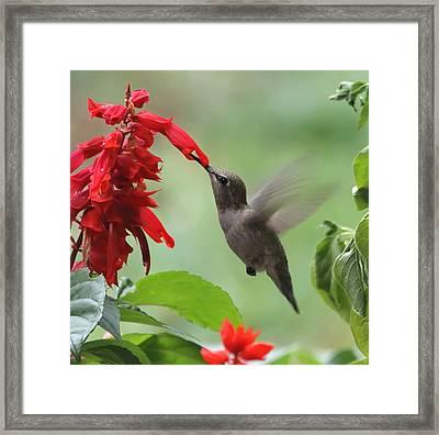 Anna Hummingbird In Salvia Framed Print