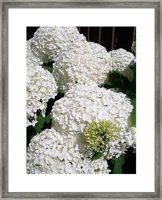 Annabelle Hydrangea  Framed Print by Sharon Duguay