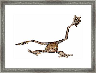 Annam Flying Frog Framed Print by Roger Hall