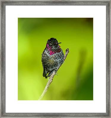 Anna's Hummingbird 2014 Framed Print by Lara Ellis