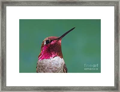 Annas Hummingbird Framed Print by Anthony Mercieca