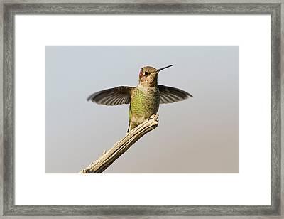 Anna's Hummingbird (calypte Anna Framed Print by Larry Ditto