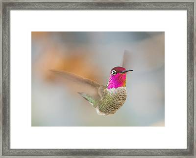 Anna's Hummingbird Framed Print by Doug Herr