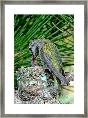 Annas Hummingbird Feeding Young Framed Print