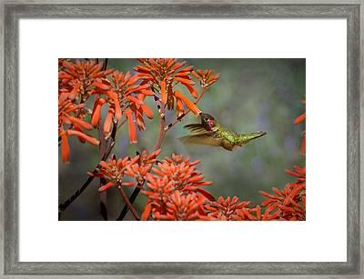 Anna's Hummingbird Framed Print by Linda Villers