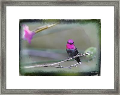 Anna's Hummingbird - Male Framed Print by Angela A Stanton