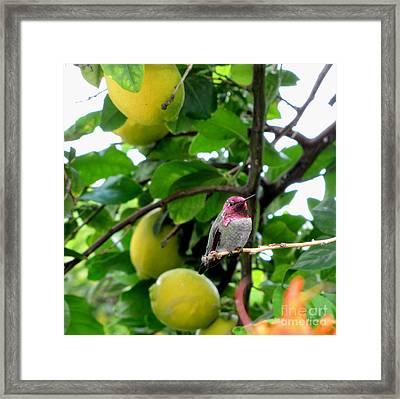 Anna's Hummingbird Framed Print by Marilyn Smith