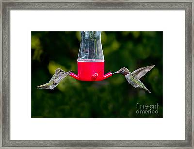 Annas Hummingbird Pair At Feeder Framed Print by Anthony Mercieca