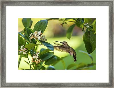 Anna's Hummingbird Sipping At A Meyer Framed Print