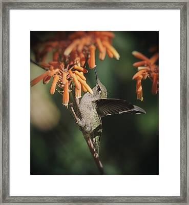 Anna's Hummingbird Sitting Pretty  Framed Print by Saija  Lehtonen