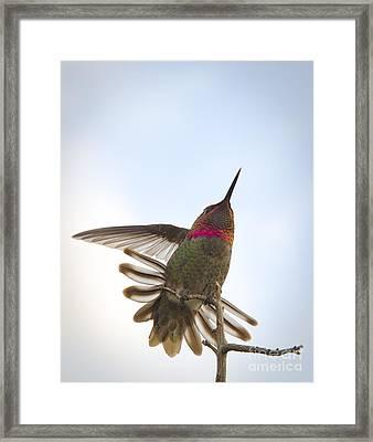 Anna's Hummingbird Framed Print by Sukhdev Saini