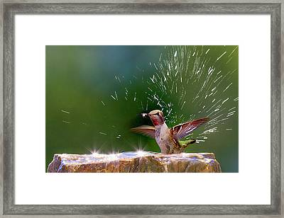 Anna's Hummingbird Taking A Shower Framed Print by Tom Norring