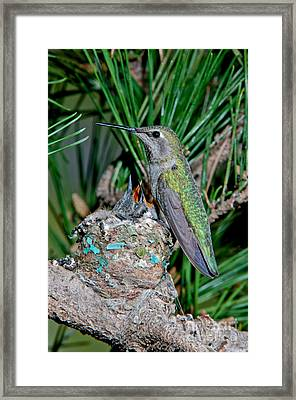 Annas Hummingbird With Young Framed Print by Anthony Mercieca