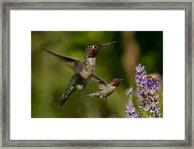 Anna's Hummingbirds In Flight Framed Print