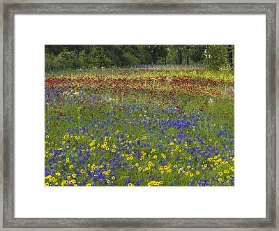 Annual Coreopsis Texas Bluebonnet Framed Print by Tim Fitzharris