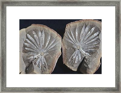 Annularia Fossil Framed Print by Louise K. Broman