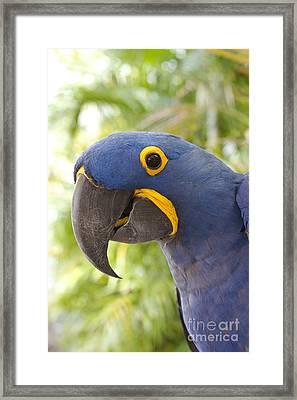Anodorhynchus Hyacinthinus - Hyacinth Macaw Framed Print