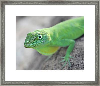 Anole Framed Print
