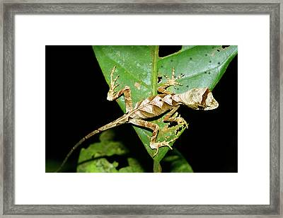 Anolis Lizard Framed Print by Dr Morley Read/science Photo Library