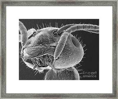 Ant Close Up Framed Print