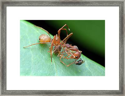 Ant-mimic Crab Spider With Prey Framed Print