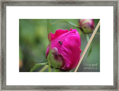Framed Print featuring the photograph Ant On Peony by Ann E Robson