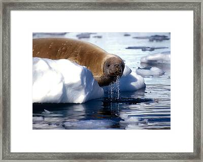 Framed Print featuring the photograph Antarctic Crabeater Seal by Dennis Cox WorldViews