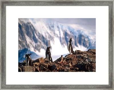 Framed Print featuring the photograph Antarctic Gentoo Penguins by Dennis Cox WorldViews