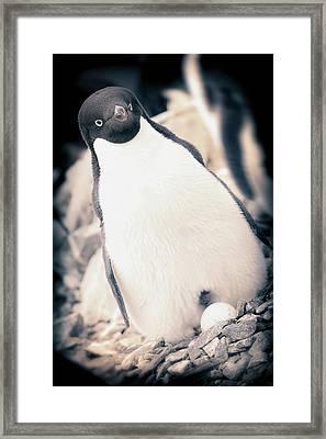 Antarctica Adelie Penguin Sits On An Framed Print