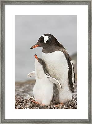 Antarctica, Aitcho Island Framed Print