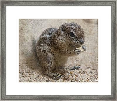 Antelope Ground Squirrel - Houston Zoo Framed Print