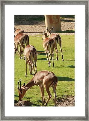 Antelopes Framed Print by Tinjoe Mbugus