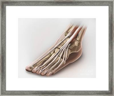 Anterior Compartment Anatomy Of Left Framed Print