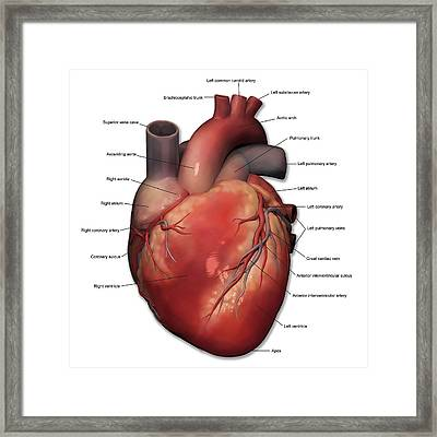 Anterior View Of Human Heart Anatomy Framed Print