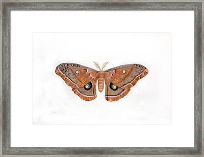 Antheraea Polyphemus Framed Print by Inger Hutton