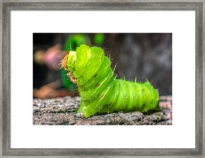 Antheraea Polyphemus Framed Print by Rob Sellers