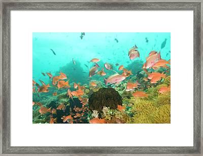 Anthias Fish (pseudanthias Squamipinnis Framed Print