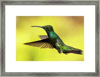 Anthracothorax Nigricollis Framed Print by Jorge Garc�a