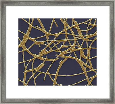 Anthrax Bacteria Framed Print