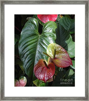 Anthurium Framed Print by Ann Johndro-Collins