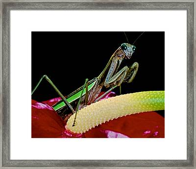 Praying Mantis Taking A Walk On The Anthurium Flower Giving Me A Great Pose Framed Print