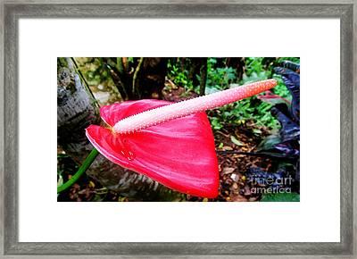 Anthurium Flower One Framed Print by Tina M Wenger