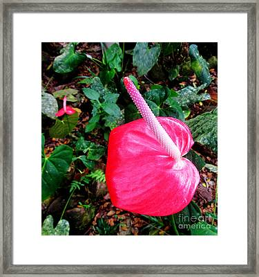 Anthurium Flower Two Framed Print by Tina M Wenger