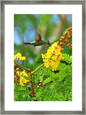 Antillean Crested Hummer Endemic Framed Print
