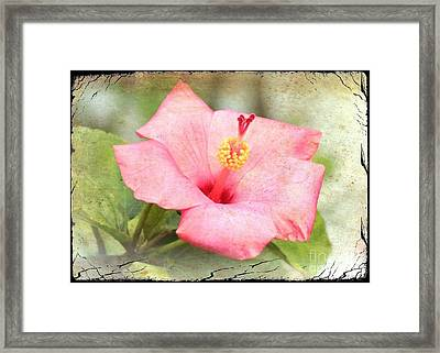 Antique Hibiscus Framed Print by Carol Groenen